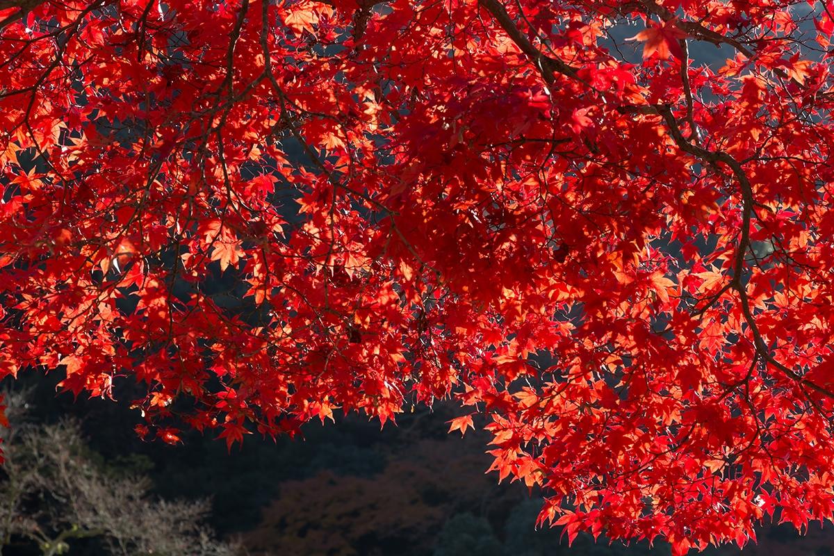 六甲山の紅葉、神戸市立森林植物園の紅葉が綺麗です。