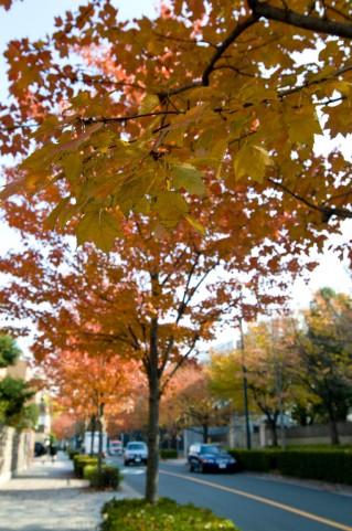紅葉の季節が来ました。大阪で車の中からも見れる紅葉スポットは?