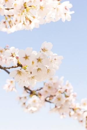 吉野山のお花見の見頃やおすすめコースは?駐車場や混雑さけるには?