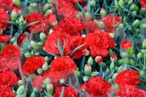 カーネーションのつぼみが咲かない枯れるのは?鉢植えの育て方は?