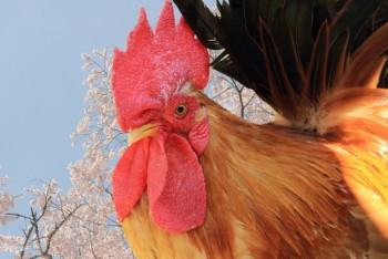 白い卵と赤い卵の違いは何?新鮮な卵の見分け方と保存方法は?