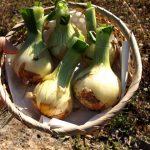 新玉ねぎを新鮮なまま保存する方法!普通に冷凍したら成分が破壊される?